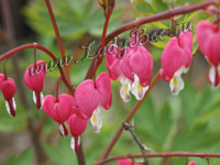 Дицентра (Dicentra)